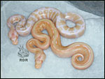 2005 - Striped Albino - first produced here at RDR