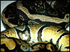 Anerythristic Ball Python with normal