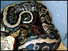 Anerythristic Ball Python breeding