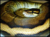 Genetic Gold Stripe Ball Python