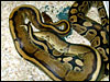 Genetic Gold Stripe Ball Python breeding