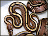 2003 baby Striped ball pythons
