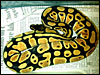 High Gold Ball Python