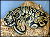 Labyrinth Jungle Ball Python