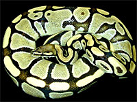 Ralph Davis Reptiles - Collection - Pythons - Ball Pythons