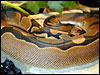 Reduced Pattern Ball Python