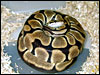 Tiger Ball Python on eggs