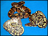 The Hypo Mojave by The Snake Keeper..........normal on top.........Mojave on right...........Hypo Mojave on left