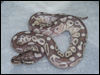 2010 Platty Daddy male - new bloodline