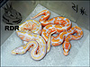 2012 Super Pastel Lavender Albino ( left ) with 2012 Lavender Albino