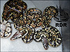 2012 Pastel Het Red Axanthics