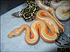 2013 Pastel Striped Lavender Albino