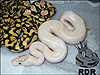 Very cool Ivory...looks to have the Pastel gene and/or Desert