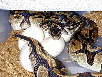 Reptiles That Lay Eggs the process of laying eggs